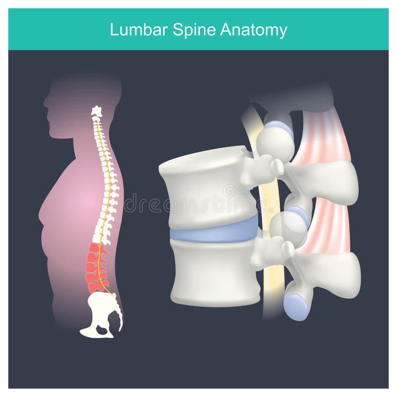 Lumbale Stekelanatomie Anatomie menselijk lichaam stock illustratie