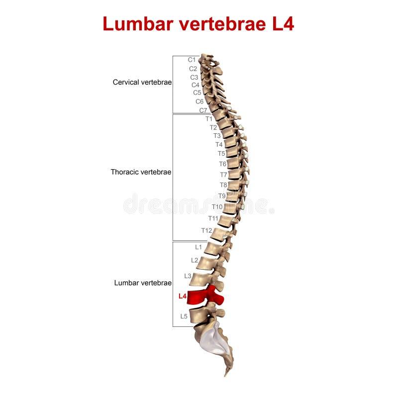 Lumbale Wirbel L4 stock abbildung. Illustration von zervikal - 81703992