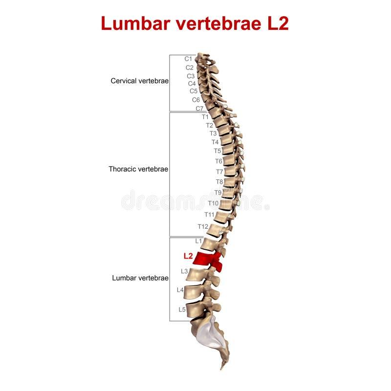 Lumbale Wirbel L2 stock abbildung. Illustration von spinal - 81728548