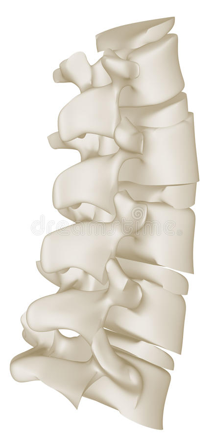 The Lumbar Curve of the Human Spine vector illustration