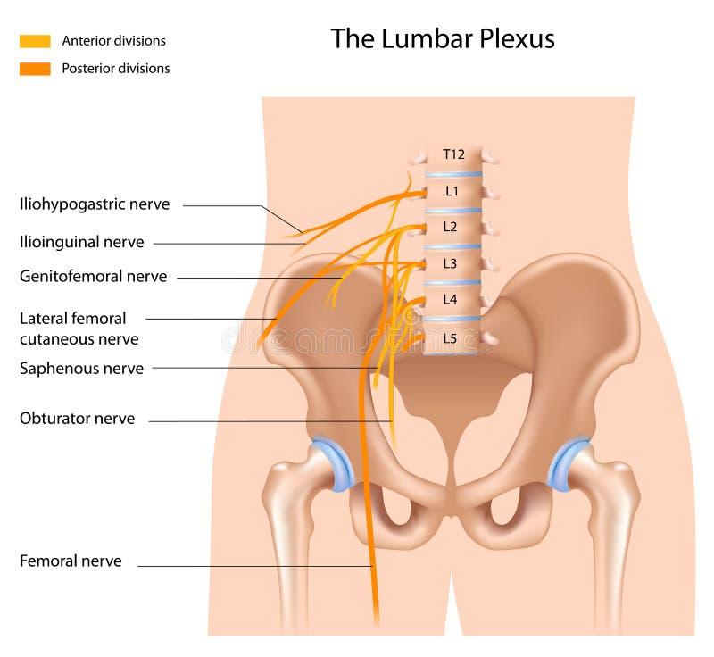 The lumbar plexus. Nerve network, eps8 royalty free illustration