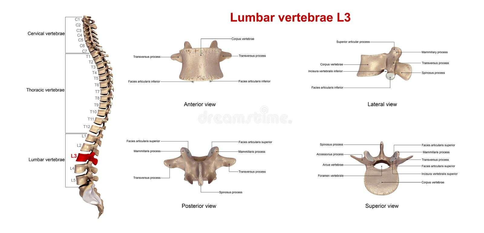 Lumbar vertebrae L3. The lumbar vertebrae are, in human anatomy, the five vertebrae between the rib cage and the pelvis. They are the largest segments of the stock illustration