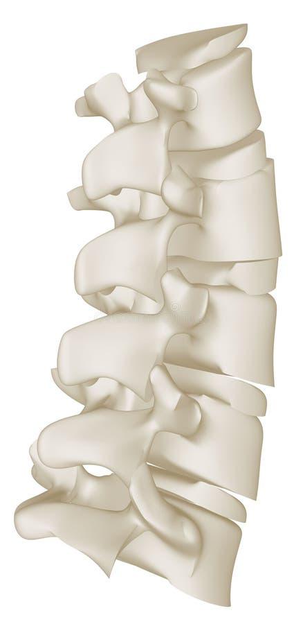 Lumbarkurvan av den mänskliga ryggen vektor illustrationer