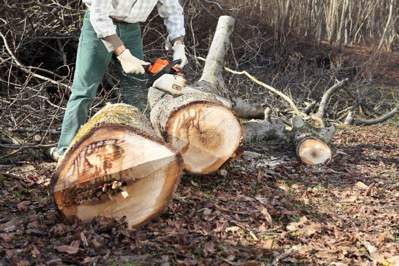 Lumberjack используя цепную пилу режа большое дерево во время осени стоковое фото rf