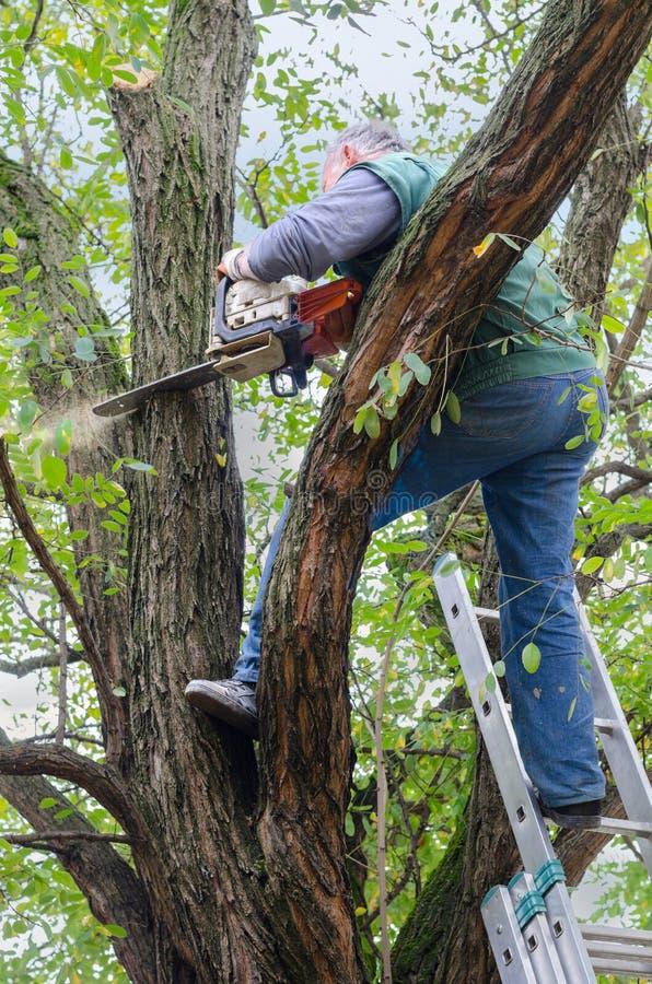 Lumberjack режа мертвую ветвь дерева акации с круглой пилой стоковое фото rf