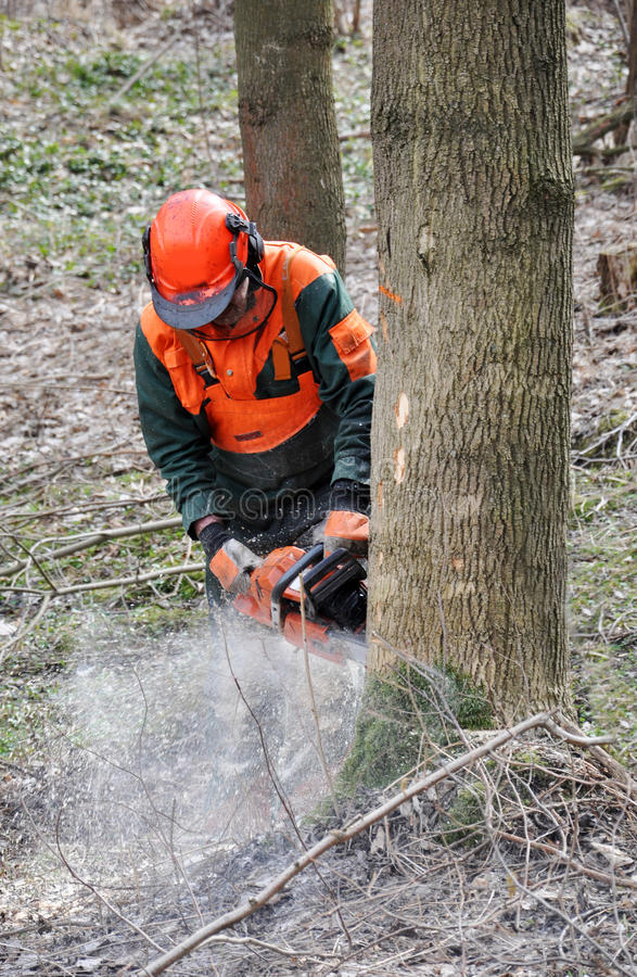 Lumberjack. Professional work of lumberjack with chainsaw royalty free stock images
