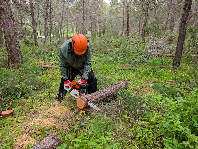 Lumberjack cutting down tree with chainsaw.  Forestry pest control royalty free stock photography