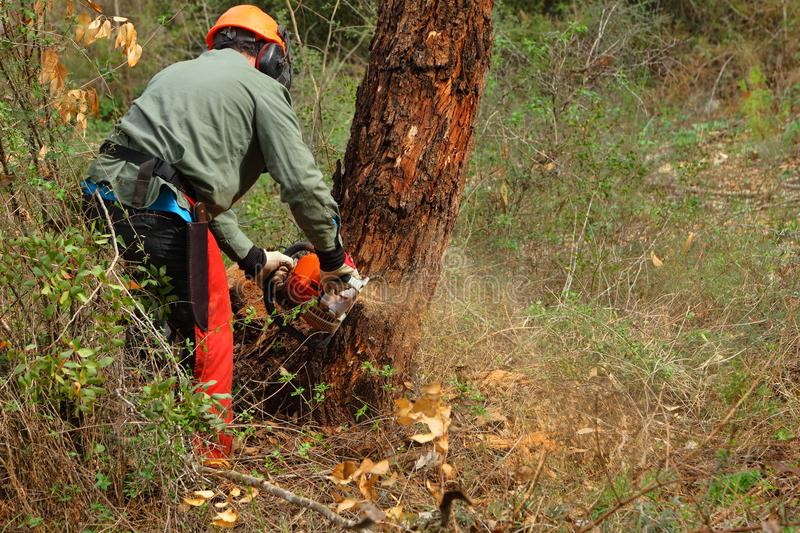 Lumberjack cutting. Down tree with chainsaw. Sawing a pine with timber damaged by bark beetles. Forestry pest control royalty free stock photography