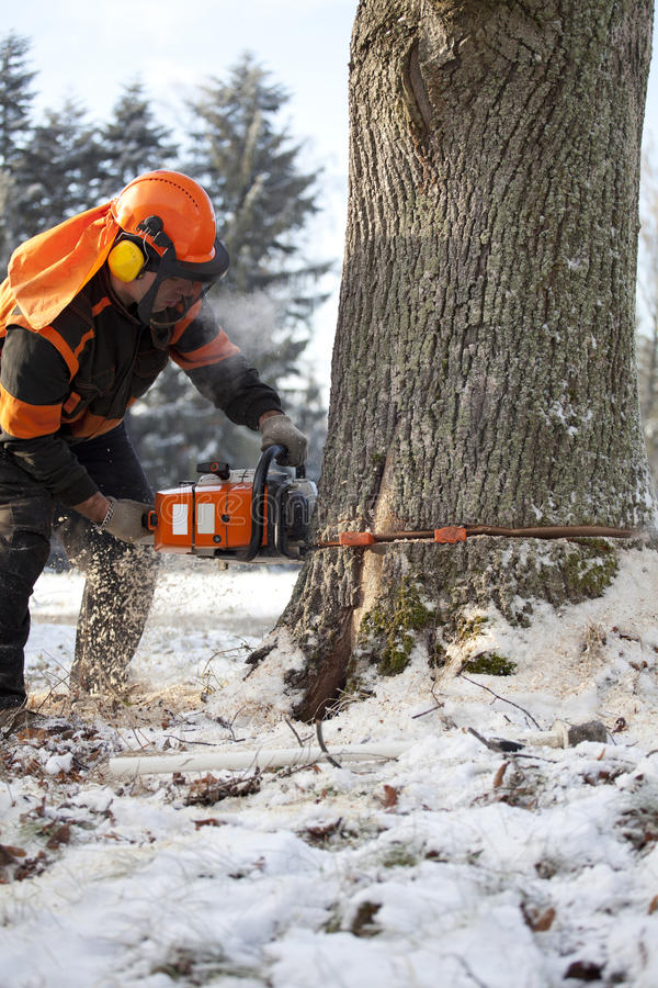 Lumberjack cutting tree. Proffesional Lumberjack Cutting big Tree during the Winter wearing protection clothes using chainsaw close up view royalty free stock images