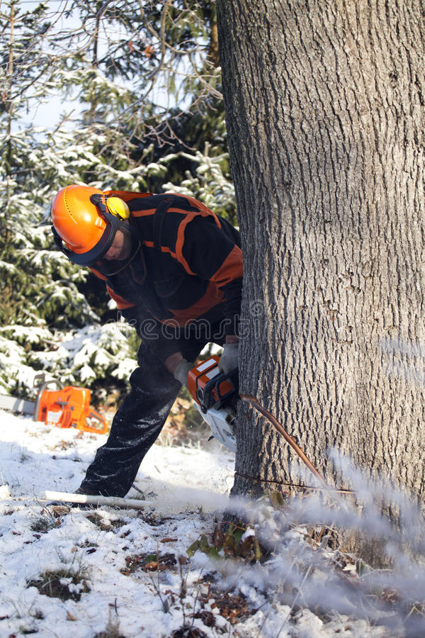Lumberjack cutting tree. Proffesional Lumberjack Cutting big Tree during the Winter wearing protection clothes using chainsaw close up view stock images