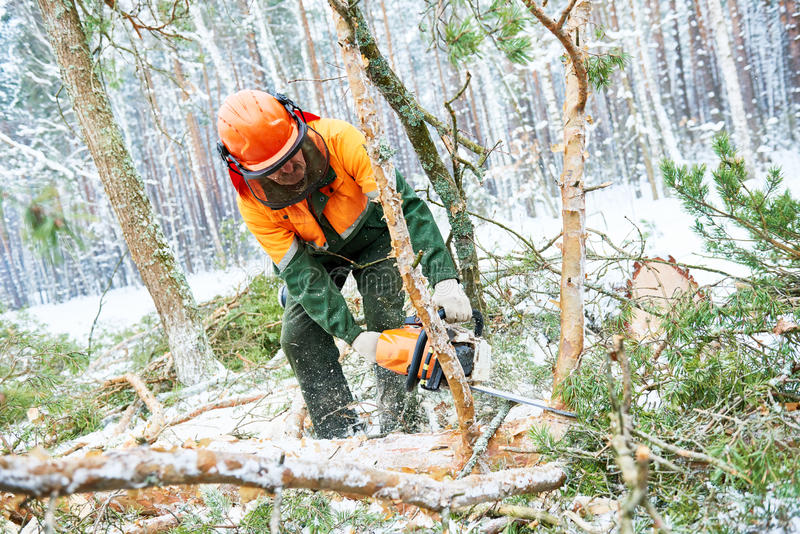 Lumberjack cutting tree in snow winter forest. Wood harvesting. Lumberjack logger worker in protective gear cutting timber tree in winter snow forest with stock photo