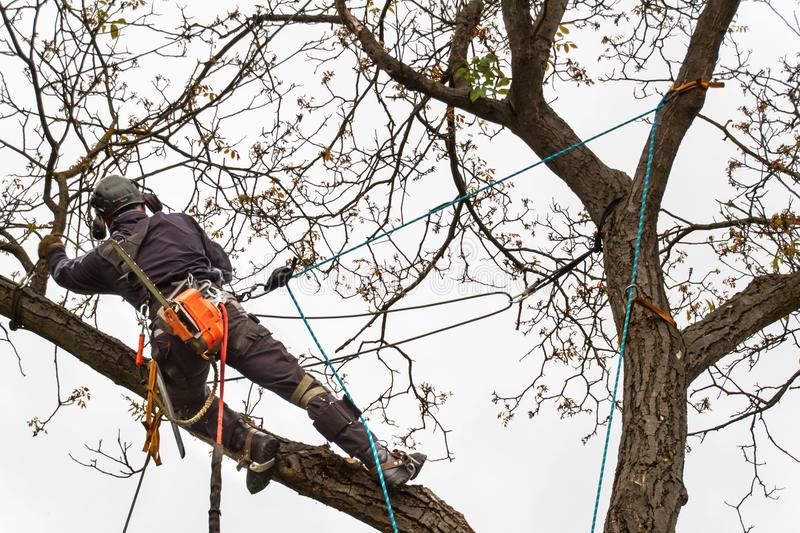 Lumberjack with saw and harness pruning a tree. Arborist work on old walnut tree. Lumberjack with saw and harness pruning a tree. Arborist work on old walnut stock photos