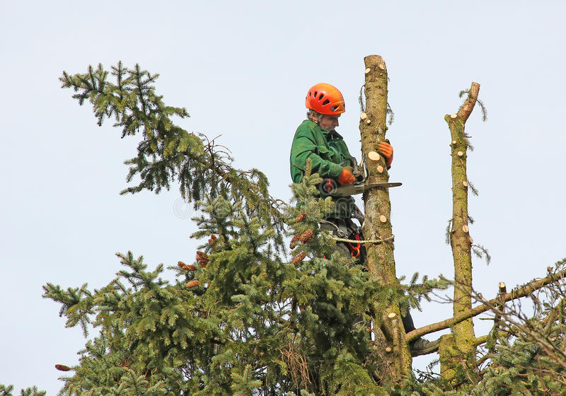 Lumberjack in the tree top. Lumberjack in the fir tree top, cutting down a tree stock photography