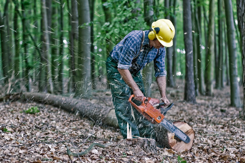 Lumberjack in the woods. Lumberjack cuts a tree with the chainsaw stock images