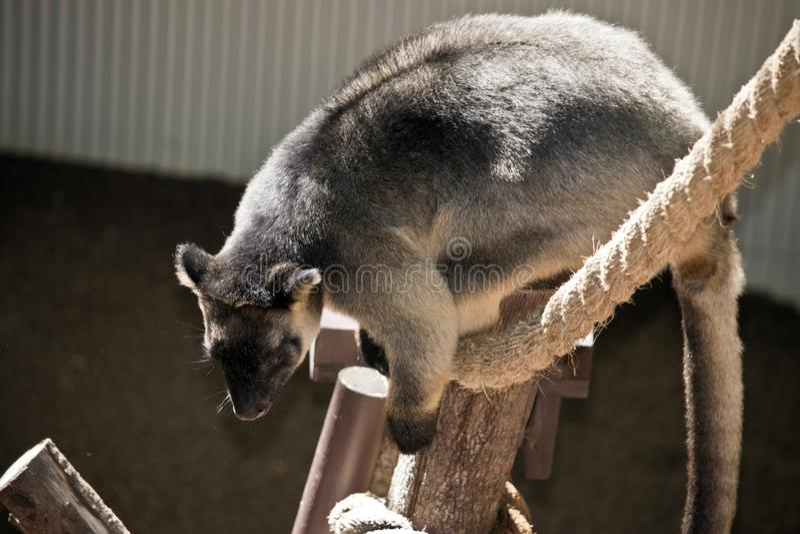 Lumholtz ` s Drzewny kangur obraz stock