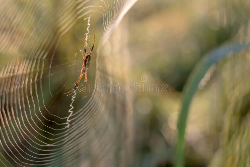 Lumière d'araignée-de retour avec le fond vert brouillé photographie stock