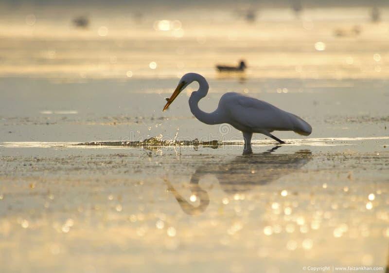 Lumière d'or de Fishingin de grand héron photos libres de droits