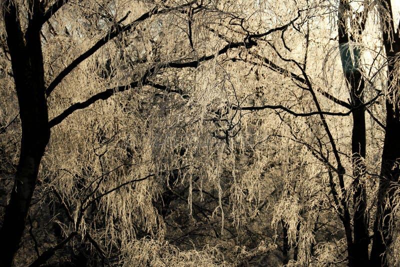 Lumière d'hiver, arbres givrés par jour ensoleillé froid image stock
