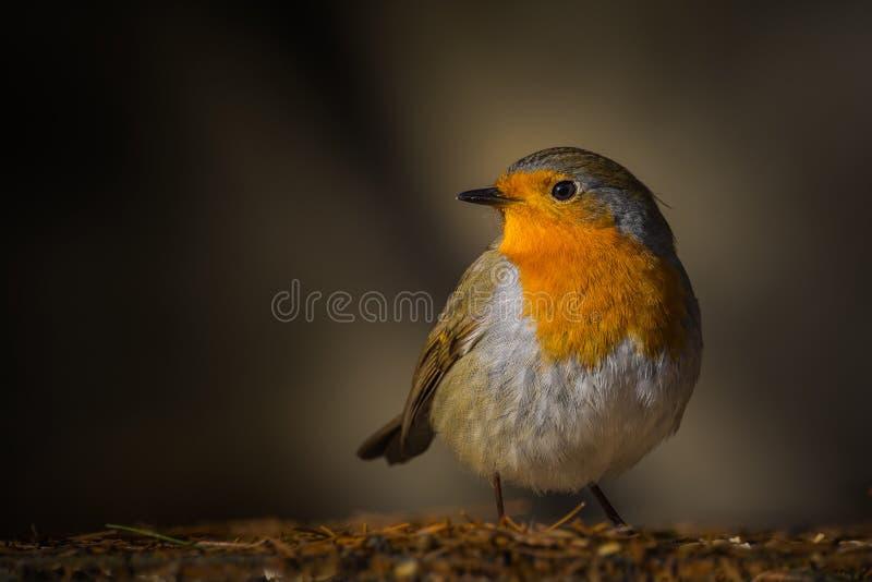 Lumière de mornig d'oiseau de Robin photos libres de droits