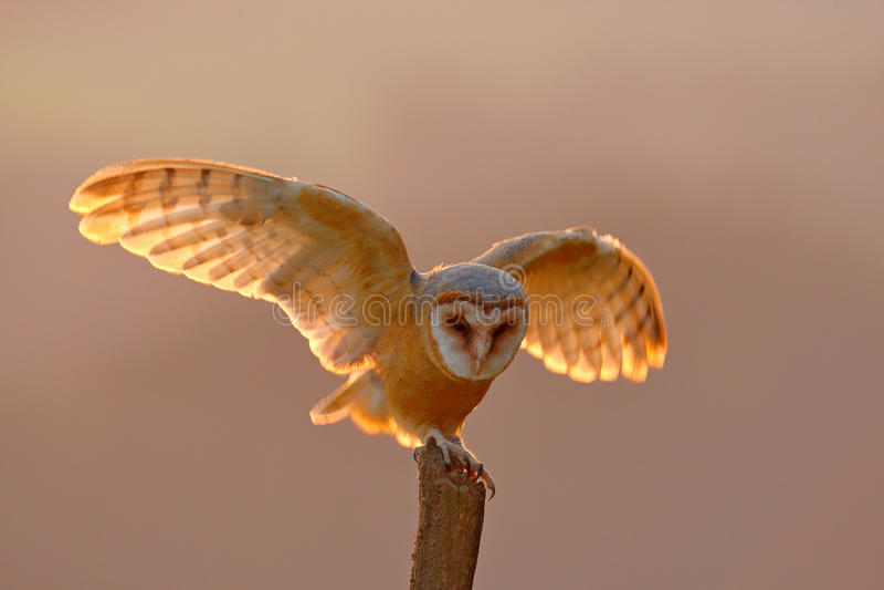 Lumière de soirée avec le hibou d'atterrissage Vol de hibou de grange avec les ailes répandues sur le tronçon d'arbre à la soirée photographie stock