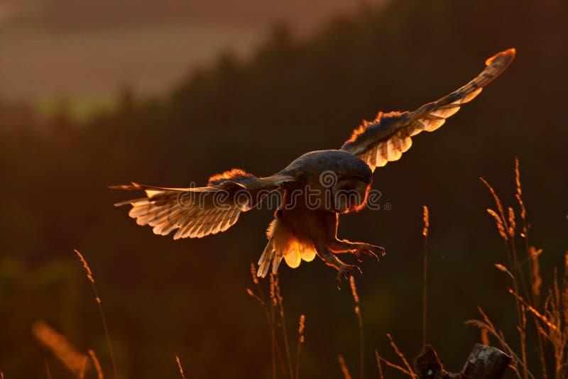 Lumière de soirée avec le hibou d'atterrissage Vol de hibou de grange avec les ailes répandues sur le tronçon d'arbre à la soirée photographie stock libre de droits