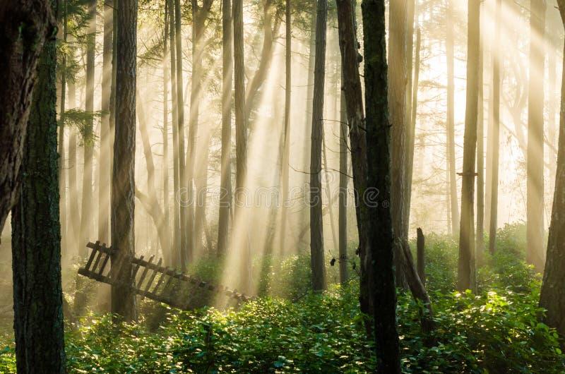 Lumière du soleil brumeuse de forêt photos stock