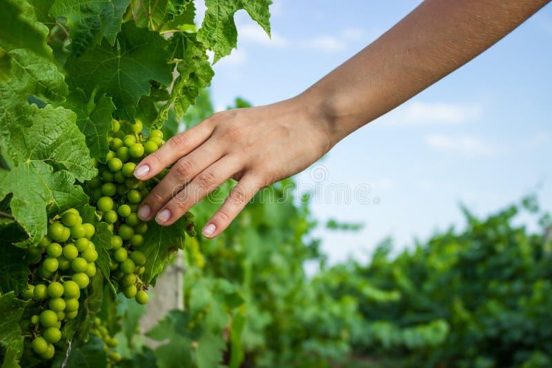 Lumière du soleil chaude d'esprit disponible de vignes Raisins croissants de examen d'agriculteur photo libre de droits