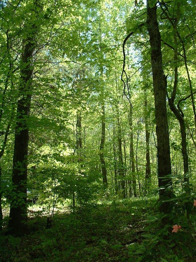 Lumière du soleil d'été dans les bois photo stock
