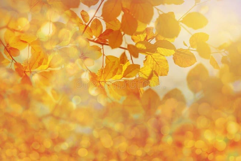 Lumière du soleil d'or étonnante sur les feuilles d'automne jaunes de l'arbre de hêtre images stock