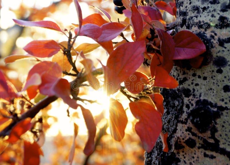 Lumière du soleil de bouleau rouge photos stock