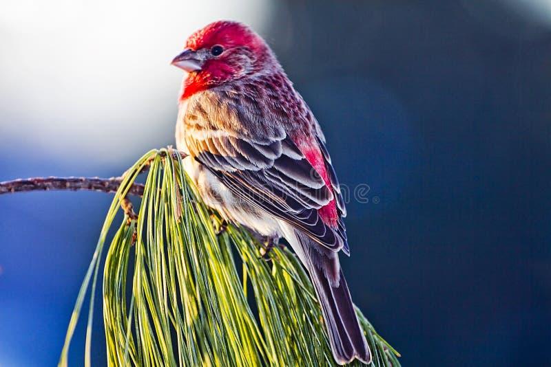Lumière du soleil de matin sur l'oiseau de gros-bec de pin images stock