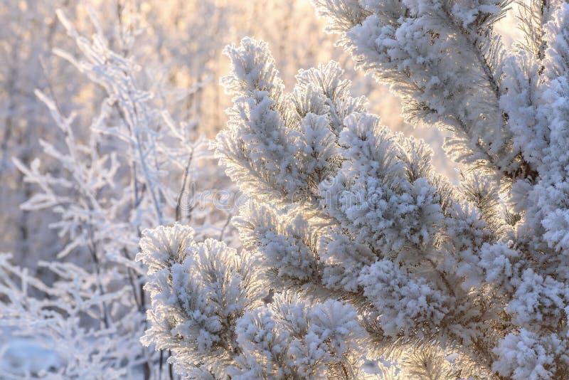 Lumière du soleil de neige de gel de pin photos stock