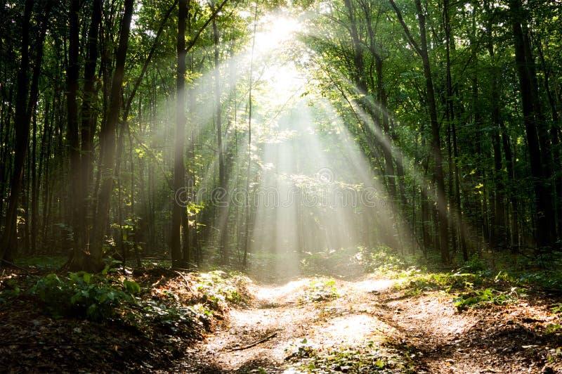 Lumière du soleil excessive en bois de matin photo libre de droits