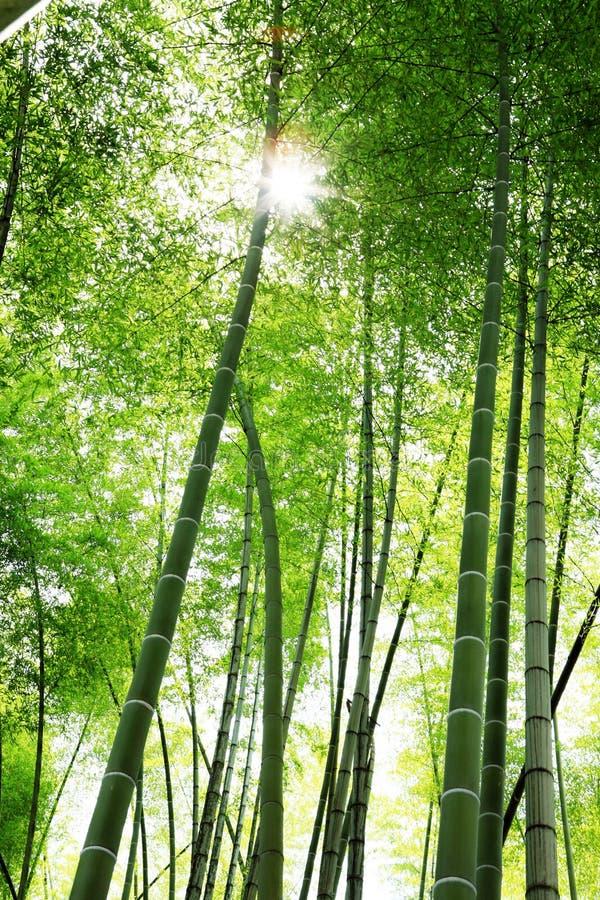 Lumière du soleil par des bambous image stock