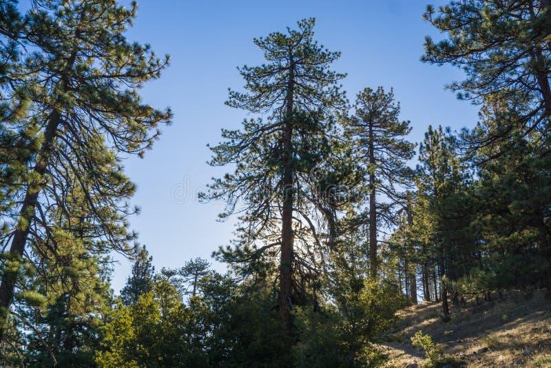 Lumière du soleil par des pins en montagnes photos libres de droits