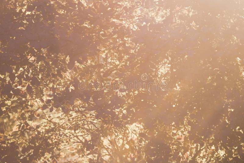 Lumière du soleil par le feuillage d'arbre Feuilles brillantes au soleil Beau fond avec les feuilles d'or à l'arrière-plan de nat images stock