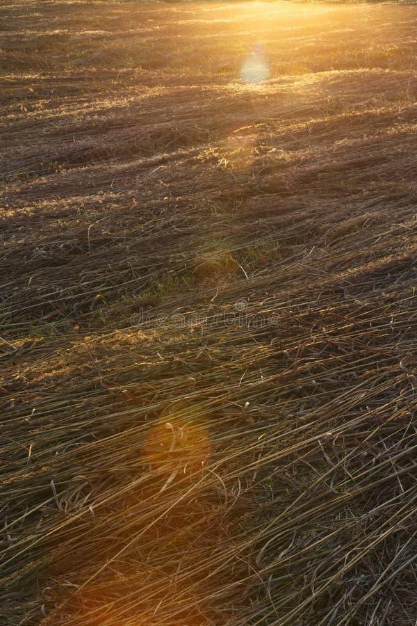 Lumière du soleil ratissant à travers un champ d'avoine photo libre de droits