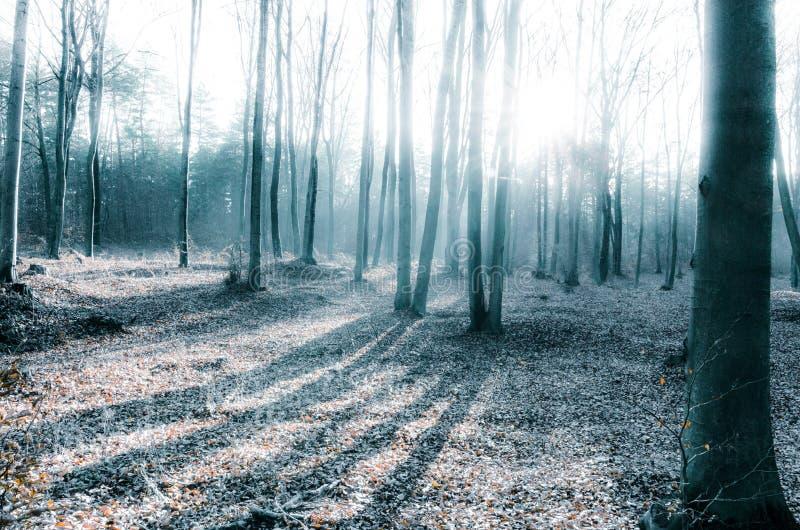 Lumière froide du matin dans les bois d'hiver photo libre de droits