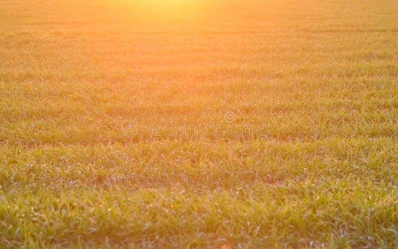 lumi?re Jaune-rose des rayons de l'arrangement ou du Soleil Levant au-dessus de l'herbe verte Zone de bl? d'or Foyer s?lectif bro photos stock