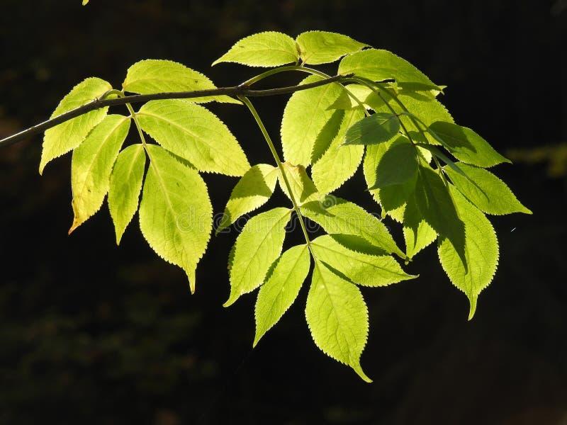 Lumière très belle par les feuilles de cendre de en l'automne photos stock