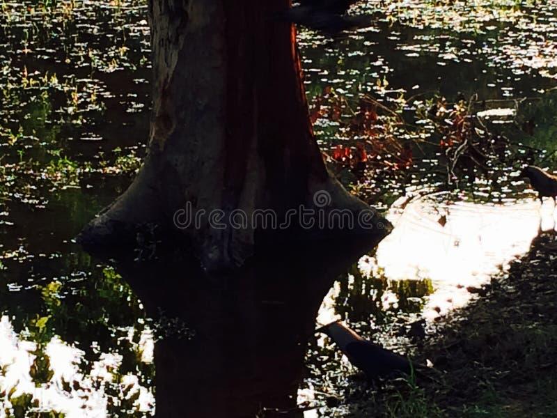 Lumières d'arbre d'ombre d'effet de l'eau de corneille photos stock