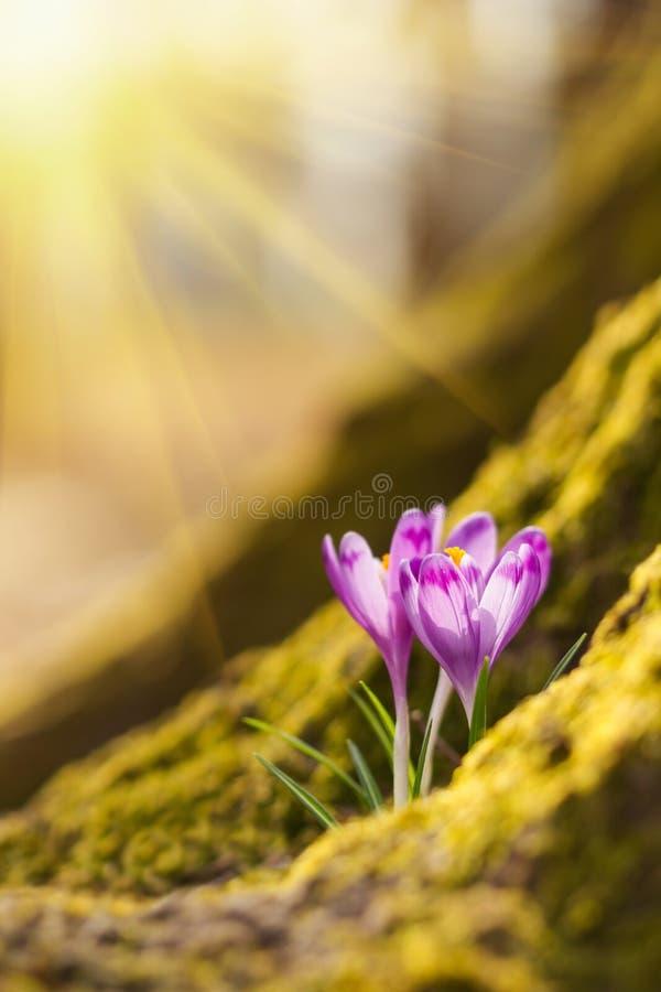 Lumi?re du soleil ?tonnante sur le crocus de fleur de ressort La vue du ressort de floraison de magie fleurit le crocus s'?levant image stock