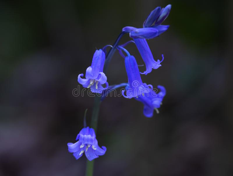 A Luminescent Bluebell Flower In Ancient Woodland royalty free stock photography
