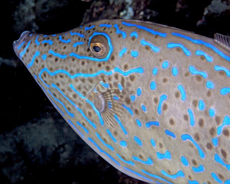 Lumineszenzmuster eines gekritzelten Feilenfisches stockfoto