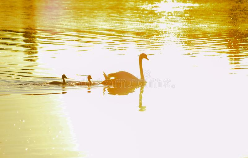 Silhouette of the passage of a swan with his little baby who follows him royalty free stock photography