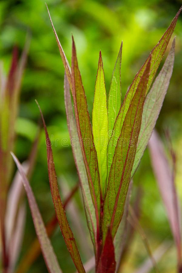 Luminous, slender green and Burgundy leaves in extreme close up, appear to have internal light source. Slender green leaves with burgundy veins in extreme stock photo