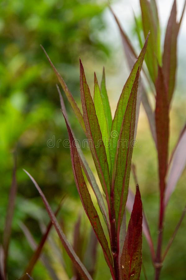 Luminous, slender green and Burgundy leaves in extreme close up, appear to have internal light source. Slender green leaves with burgundy veins in extreme stock images