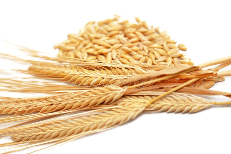 Ripe golden color wheat spike and grains isolated stock photos