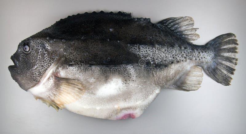 Lumpfish on grey background stock image