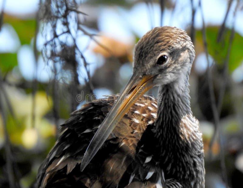 Lumpkin редкая птица стоковое изображение rf